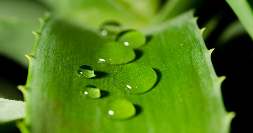 How Aloe Vera Can Save Your Voice - read more at www.completevocalcoach.com