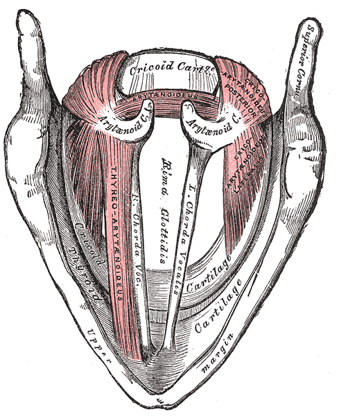 Vocal Anatomy & Physiology: 7 Great Online Resources For Singers